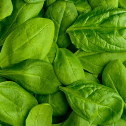 Leaf Spinach